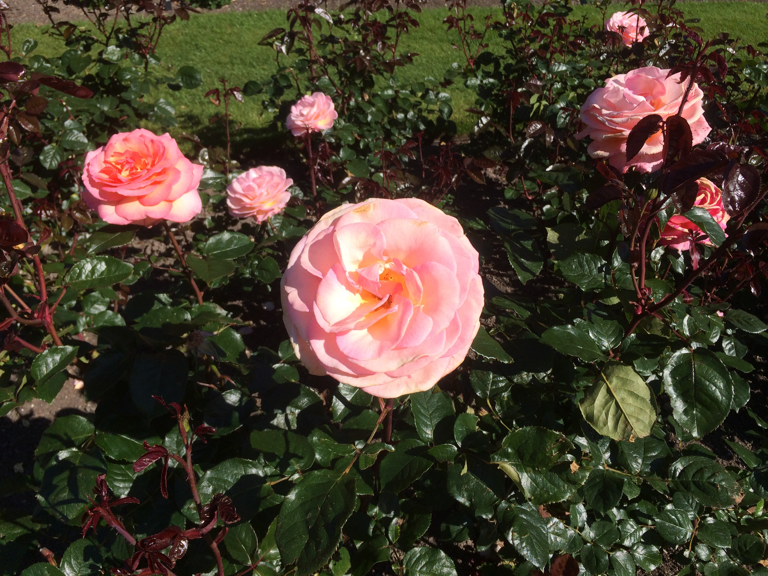 Pink rose called Hamilton Gardens