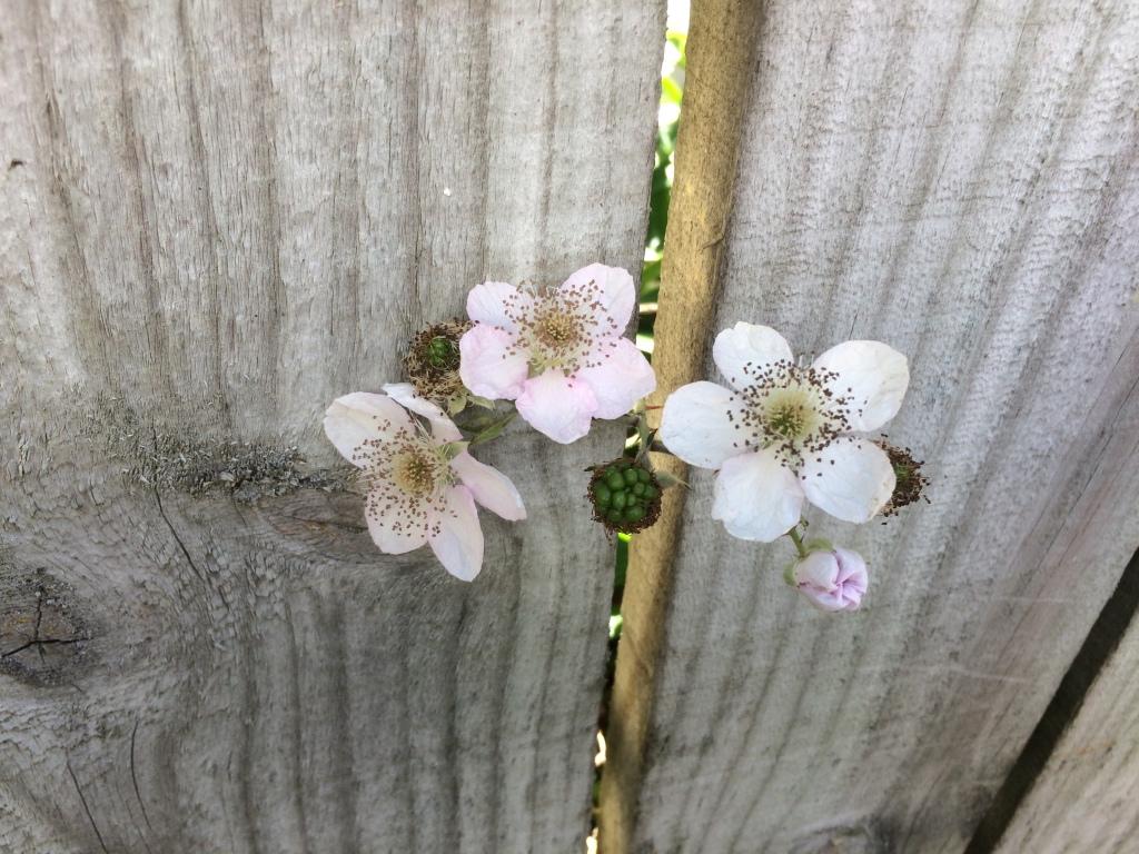 Flowers brambles